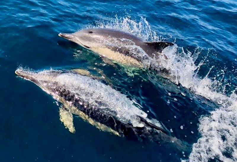 image of Dolphins- Round Britain and Ireland Race 2018 photo credit Pascal Bakker