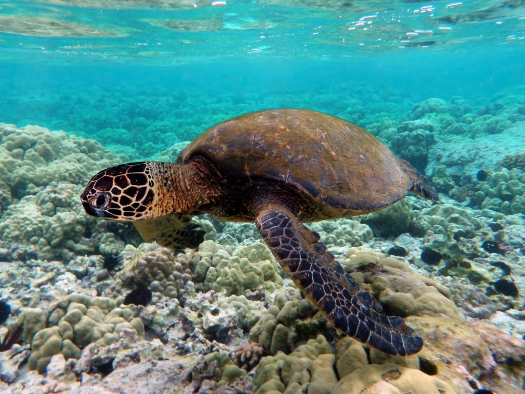 image of A turtle swims in clear ocean waters
